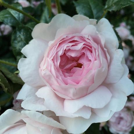 roses: june 2015 photo favorites |simple pretty